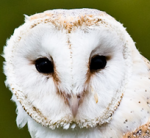 Application: Research Project Owls